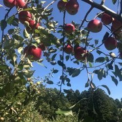りんご みなさんぽ .jpg