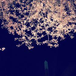 ディランの夜桜。.jpg