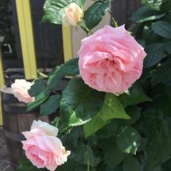 バラの季節に2020 (1).jpg