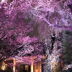 夜桜2021 (1).jpg
