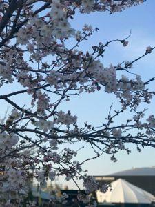 桜 ゼビオアリーナ。.jpg