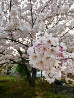 桜 2018−1 (2).jpg