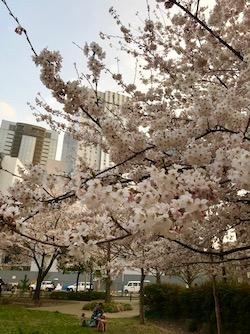 桜。2018−2 (2).jpg