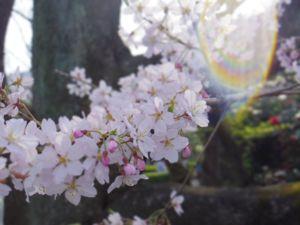 桜プリズム.jpg