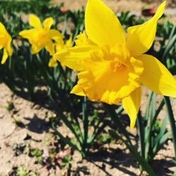 水仙。黄色ブームが毎年 (1).jpg