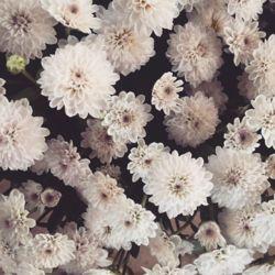 菊の花 2016 なつ2.jpg
