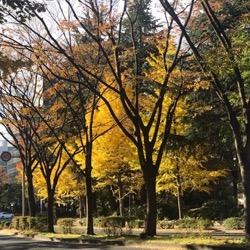 行動台公園寄り道の銀杏 (1).jpg