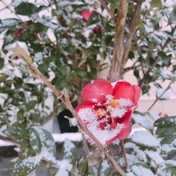 雪の結晶もみえるあさ。椿 (1).jpg