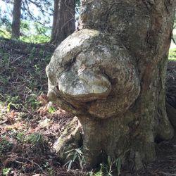 顔にみえる木 かしのきおじさんっぽい.jpg