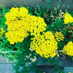 黄色い小さい花。.jpg