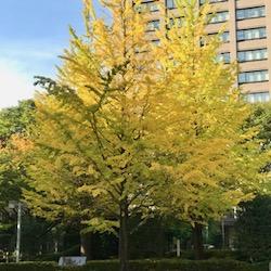 1028 県庁前大銀杏2020 (1).jpg