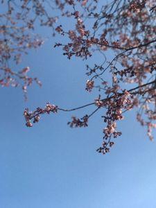 2017桜にしきちょうこうえんなう.jpg