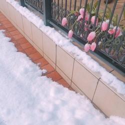 20180212雪とチューリップ。 (1).jpg