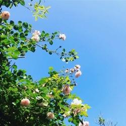 2019円通院のバラ。 (1).jpg