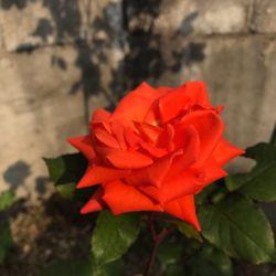 rose2017may.jpg