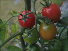 tomato%20kikuchi%27s.jpg
